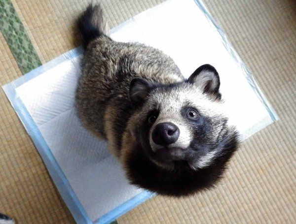 Woman Rescues An Abandoned Dog Only To Discover He's Not Exactly A Dog a Tanuki, also known as a Japanese raccoon dog. It resembles the ancestral form of the dog, but unlike the domesticated dogs of today, it can climb trees.