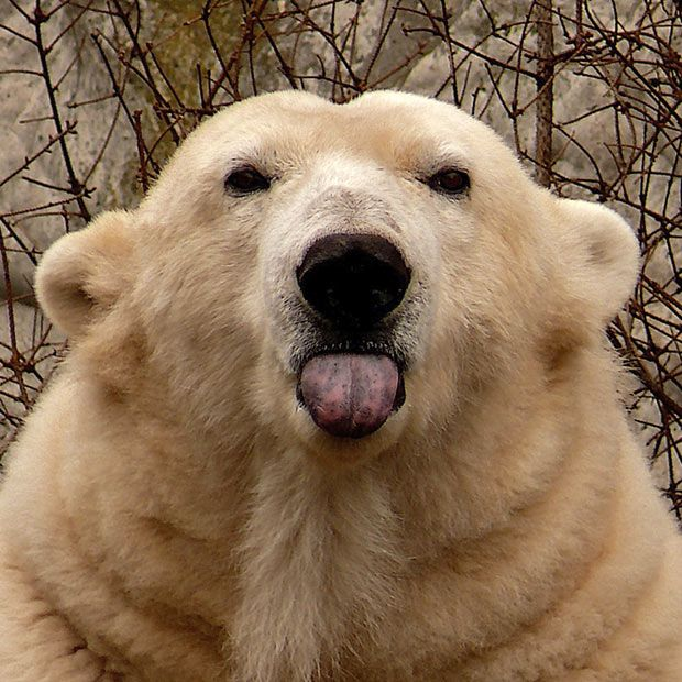 A cheeky polar bear sticks out her tongue  at Amsterdam Zoo. Photographer Lars van de Goor said: 'I was taking pictures of the animals and noticed this polar bear.  I spent half an hour running from left to right, repositioning myself time and time again to get myself into the right position. Then she finally looked straight into my camera and stuck her tongue out.'