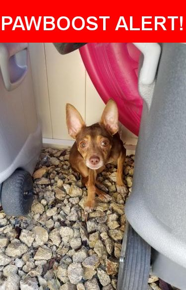 Is this your lost pet? Found in Las Vegas, NV 89160. Please spread the word so we can find the owner!  Is reddish-brown Chihuahua found running across the street  Nearest Address: Near S Maryland Pkwy & Sunrise Hospital Dr