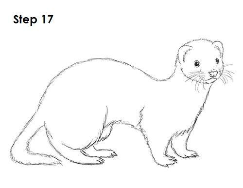 Ferret Drawing 17 Little Critter