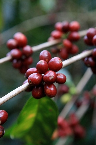 Bourbon variety coffee, Finca La Ponderosa, La Legua, Tarrazu, Costa Rica.