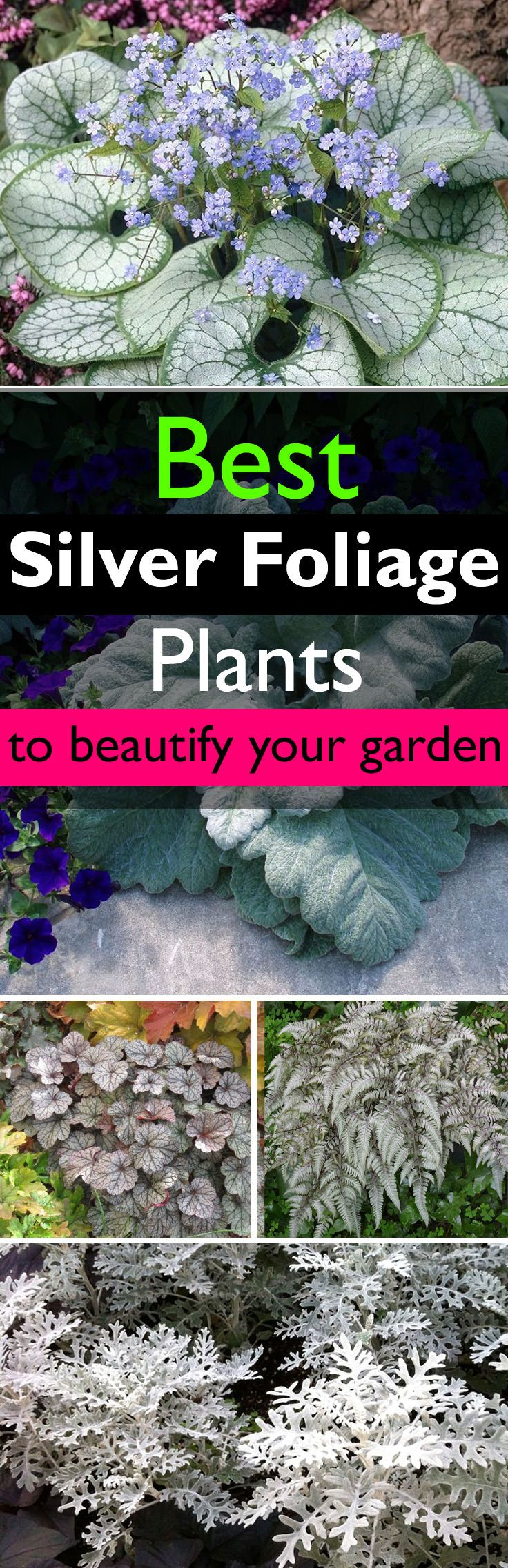 Silver foliage plants have amazing quality– they can highlight other plants and flowers in the garden. Learn more about them and find out the best you can grow.