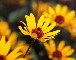 Heliopsis helianthoides 'var. scabra 'Summer Nights''