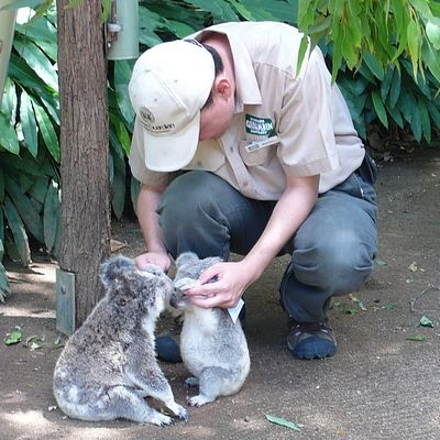 Baby# Koalas at the Sanctuary http://walkingthegoldcoast.com/about/currumbin-beach-gold-coast/currumbin-wildlife-sanctuary