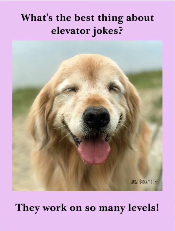 Funny Golden Retriever Dog Elevator Joke Postcard Zazzle Com