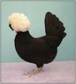 This White Crested Black exhibition bird won many shows