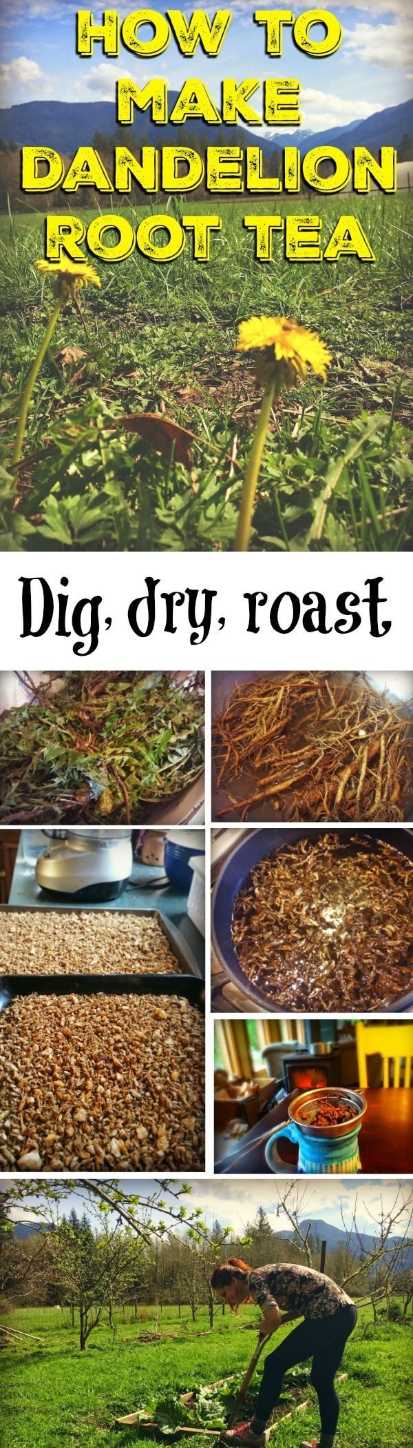 How to make dandelion root tea, and why everyone should drink it -- There are many reasons to drink dandelion root tea, and it's fun and easy to dig your own roots, dry them, and make them into a delicious drink – even use it as a coffee substitute! You can use the whole plant: roots for tea, greens for salads and soups, flowers in wine and s...