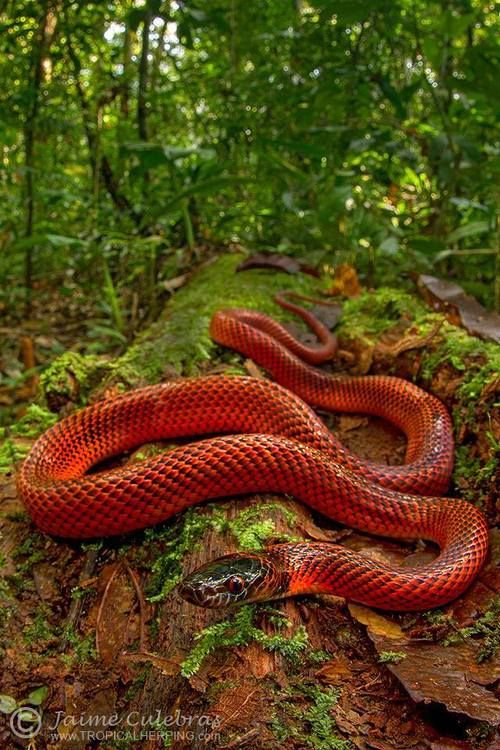 Tschudi's False Coral Snake (Oxyrhopus melanogenys)