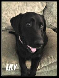 Lily is an adoptable Black Labrador Retriever Dog in Washington, DC. Hi! I'm Lily, a beautiful 3 year old black lab who loves attention. I love when people pet me and am very good-natured. I am well...