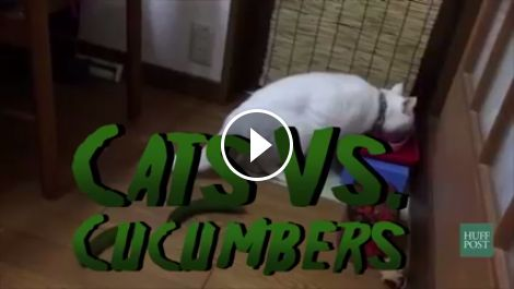 Cats VS Cucumbers!*******These cats are so funny.. it's like a big poof of air blows them up when they see the cucumber. !!!