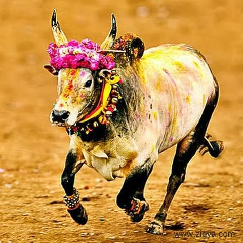 Tamil Nadu is popular for the festival Jallikattu which is an ancient bull taming sport played as a part of Pongal celebrations on Mattu Pongal day.