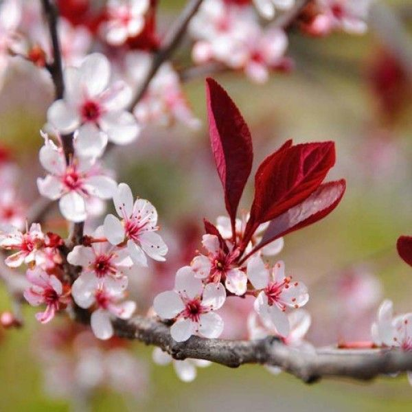 Cherry Trees Prunus Kingco Co Uk Flowering Cherry Tree Cherry Tree Tree