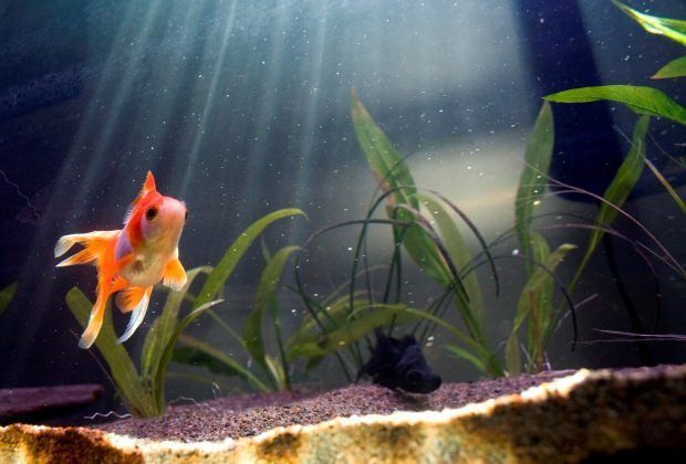 12+Most+Common+Goldfish+Types:+Which+Do+You+Prefer?