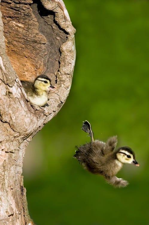 Fellows Pitch Geronimo Photos Of Cute Baby Wood Ducks