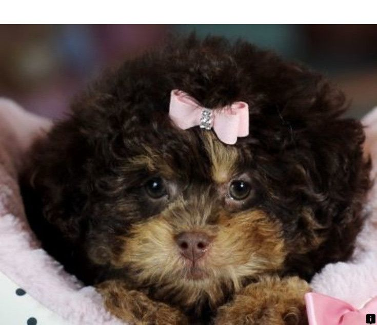 Captain Teacup Red Poodle Male Georgeous Red Coat