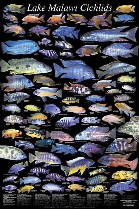 Todas las especies de cíclidos africanos | Cíclidos africanos, Lago Malawi