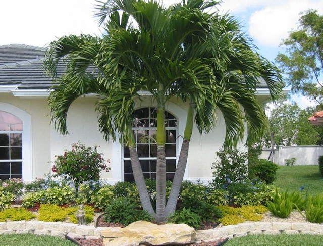 Back Yard - Fox Tail Palm
