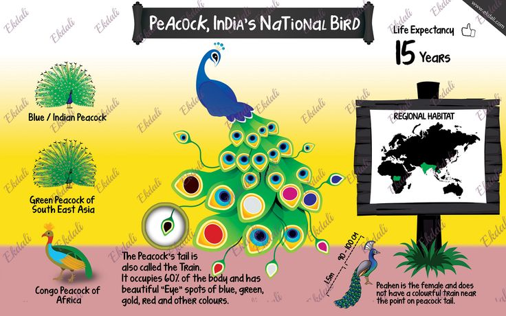#Animal series #Indian peacock #Peacock #Types of peacock #Poster #Kids #Kids room #Wall poster #ekdali #learning  Did you know the peacock's colourful tail is called a train? Know more.