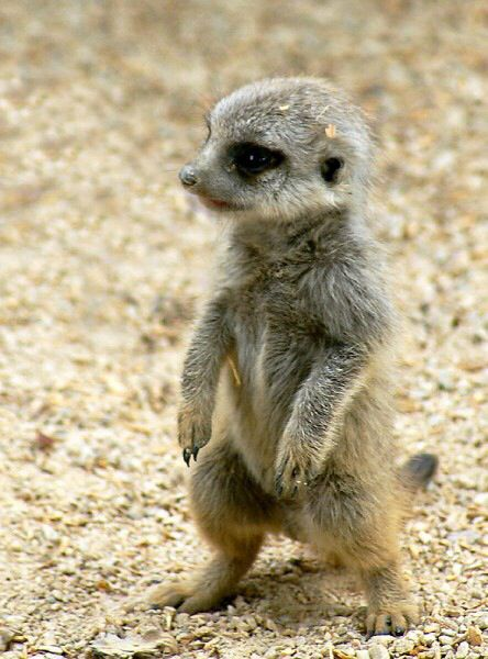 CUTE!!  baby meerkat These are probably my favorite animal, all around.  But, not for a pet.