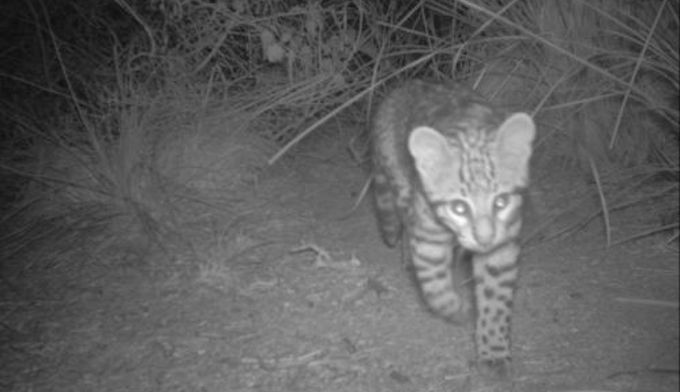 Furry Friday: Wildlife Researchers Found A Wild Ocelot Kitten In Cameron County