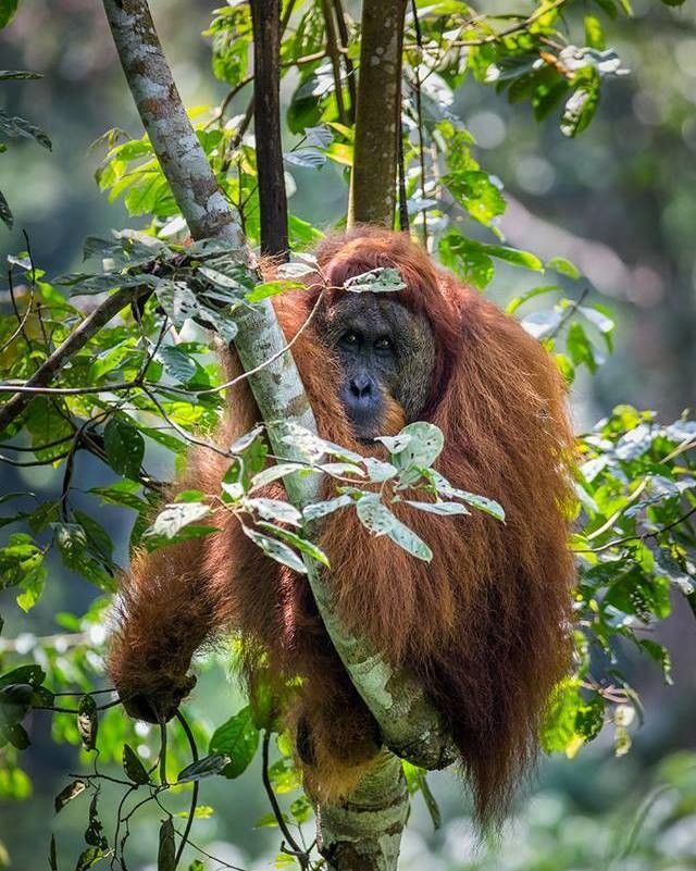 Male Sumatran orangutan Gunung Leuser National Park Indonesia. Canon 5DIII Canon 200-400mm f/4 lens with built-in 1.4x extender ISO 1000 f/6.3 1/250 second. | Photo by Ian Plant