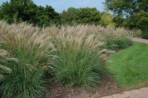 57 best plants perennials ornamental grasses for Hearty ornamental grasses