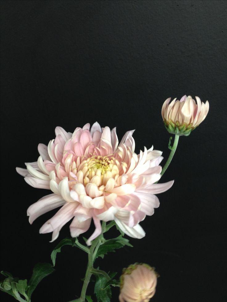 English chrysanthemum