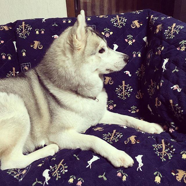 天てれの蝶野さんを凝視するすみれ #siberianhusky#siberianhuskyofinstagram #husky#dogstagram #dog#doglover #シベリアンハスキー#ハスキー#愛犬