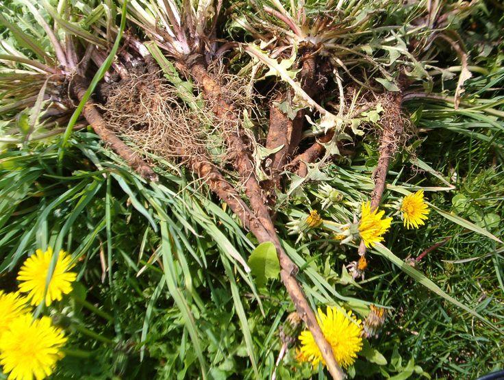 ... Dandelions Herbs, Dandelions Coffee, Dandelions Roots Teas, Wild