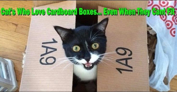 20 Pictures of Cats Who Think They'll Fit In That Box (No Click-Bait)  #Caturday #Cats #Kittens #Kitty #Cute #Love #Adorable #Fluffy #Mittens #Kittycat #FeralFriday #Feline #Feral #cat #cats #cateyes #catgram #catstagram #catsagram #catoftheday #catlovers #blackcatsofinstagram #blackcatclub #meow #purr #babe #furbaby #cutecats #catsoninstagram #WildlifePlanet