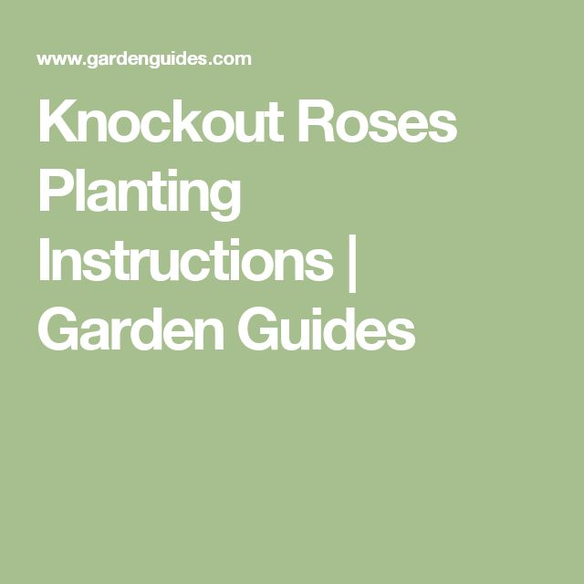 Knockout Roses Planting Instructions |  Garden Guides