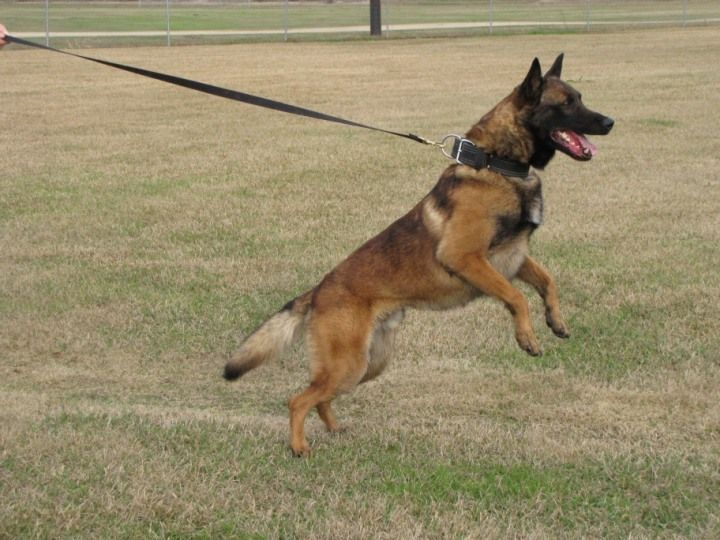 People Can Tell The Mood Of The Doggo Just By The Way It S Situated D In 2020 Malinois Puppies Belgian Malinois Puppies Belgian Malinois