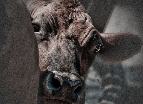 Animal Rights Group Undercover Video Prompts USDA Shutdown of Beef Plant