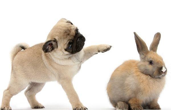 Pug and Bunny
