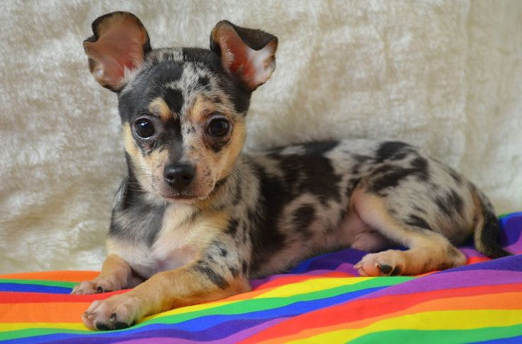 Blue merle male chihuahua puppy born October 8th, 2015 He is a very sweet cuddle baby. He is also a happy, healthy and active puppy and loves attention. He has had his puppy vaccinations and uses puppy potty pads.