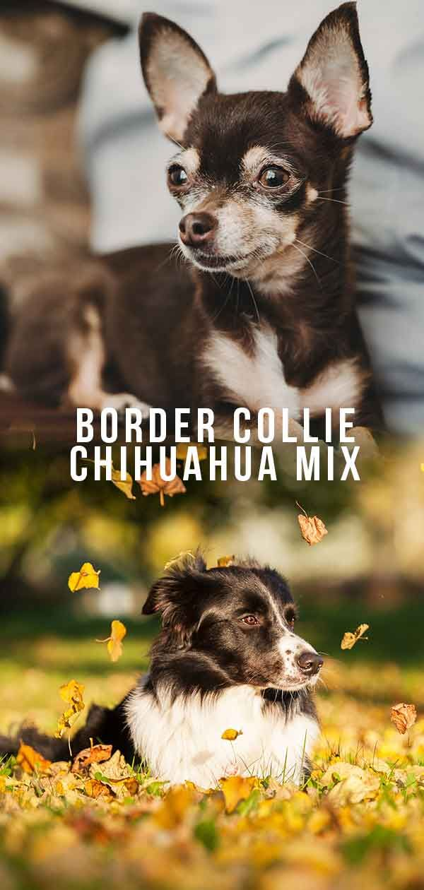 Border Collie Chihuahua Mix Is This Unusual Hybrid Right For You Chihuahua Chihuahua Mix Border Collie
