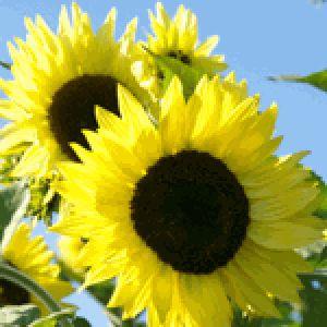 Sunflower Lemon Queen Bentuk bunga berukuran besar, berwarna kuning lemon. Minat? Sms ke 082214890085