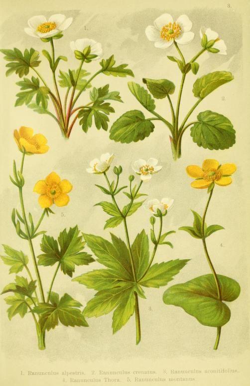 Alpen-Flora für Touristen und Pflanzenfreunde / - Biodiversity Heritage Library