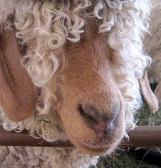 Curly sheep