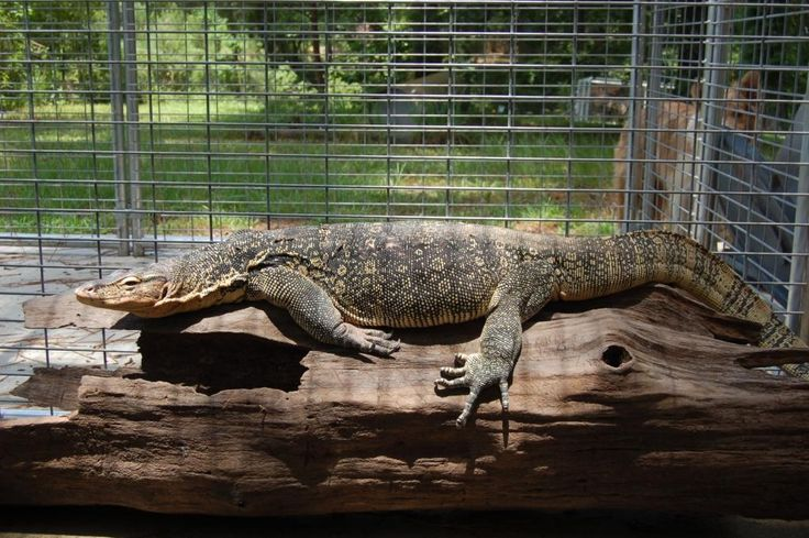 black water monitor | Reptile Cages Water Monitors | Reptile Tanks For Sale