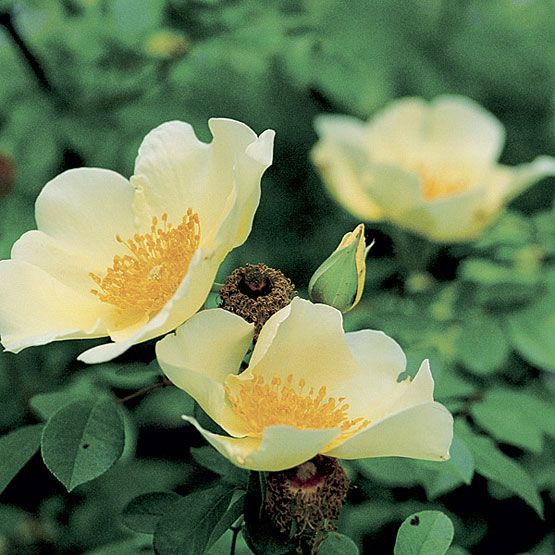 Best Roses In The Garden Images On Pinterest Flowers Plants
