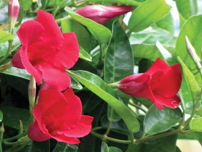 Ca Friendly Plant Mandevilla It Is A Flowering Vine That Bears Striking Trumpet