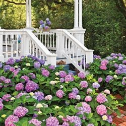 How to grow beautiful Hydrangeas.     Also, includes tips for changing the color of the blooms with the soil.