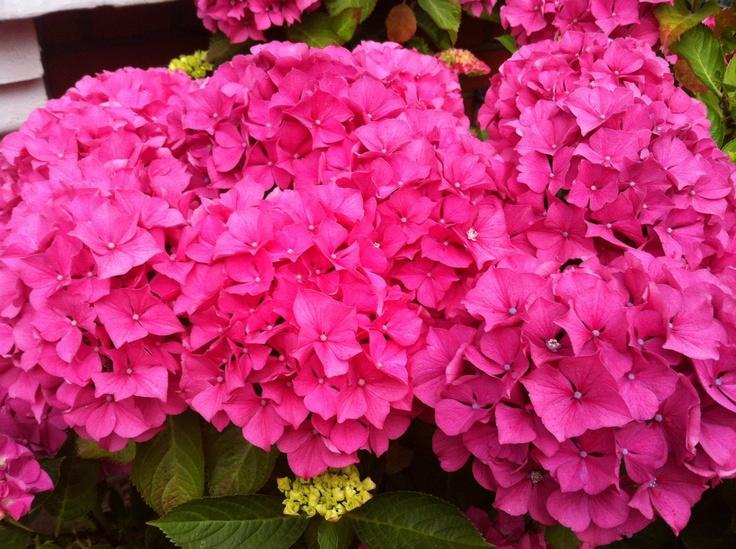 Hydrangeas Summer 2012