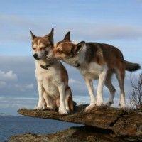 Норвежский лундехунд  Собаки 5 группа FCI »» Северные охотничьи лайки- Lundehund В прошлом лундехундов использовали для охоты на водоплавающих птиц и тупиков на скалах. Порода почти исчезла после прекращения этого вида деятельности в середине ХIХ века. Однако несколько десятков собак сохранилось на острове Верей, одном из Лофотенских островов у северо-западного побережья Норвегии. Они и стали основой для восстановления породы в середине XX века.