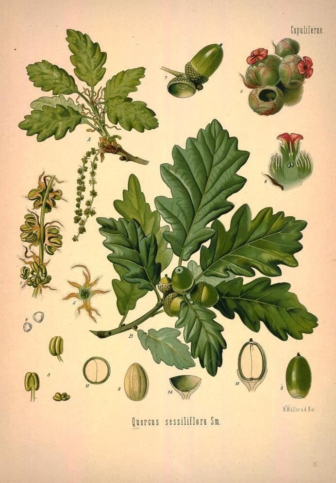 v.1 - Köhler's Medizinal-Pflanzen in naturgetreuen Abbildungen mit kurz erläuterndem Texte : - Missouri Botanical Garden Rare Book Collection via BHL (Oak species)