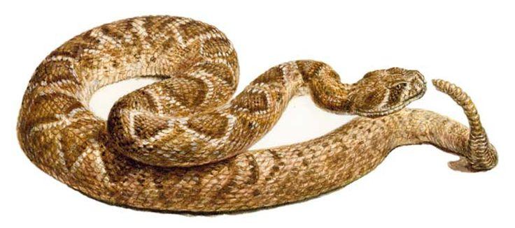 гремучая змея: 20 тыс изображений найдено в Яндекс.Картинках