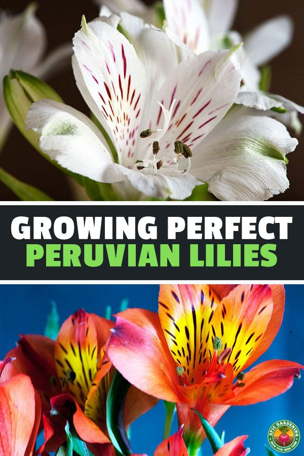 Alstroemeria Care Growing The Peruvian Lily With Images Peruvian Lilies Alstroemeria Lilly Plants