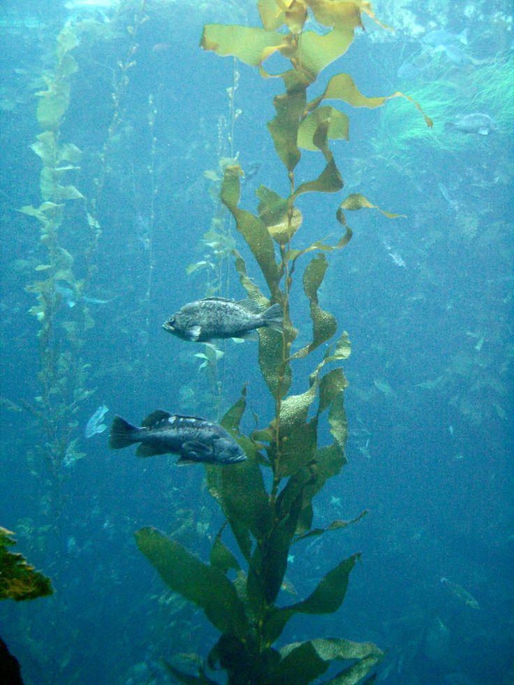 Rockfish_around_kelp_Monterey_Bay_Aquarium.jpg (2736×3648)