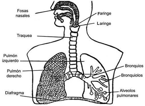 Resultado De Imagen De Pinterest Fichas Del Aparato Respiratorio Para I Sistema Respiratorio Para Ninos Sistema Respiratorio Para Colorear Sistema Respiratorio